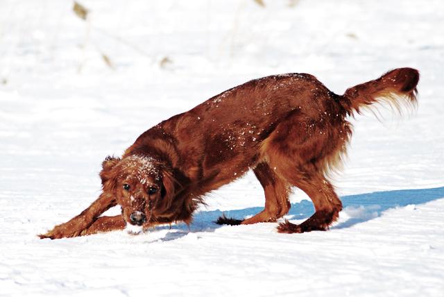 hund_vinter2012_504
